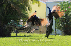 IMG_4088 copygr (Sally Knox Sakshaug) Tags: peacock florida pretty beauty bird feathers walk proud closeup sun bright colors color blue turquoise wild nature male males fight fighting flight wings orange backlit airborne
