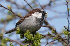 House sparrow (Shane Jones) Tags: housesparrow sparrow bird gardenbird wildlife nature nikon d500 200400vr tc14eii