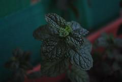 Menta ([ Laura ]) Tags: menta mint planta plant verde green textura