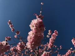 Frühling (Blende2,8) Tags: badenwürttemberg rommelsbach reutlingen blüten blau himmel zierkirschen