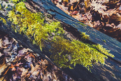 Mossy Log - Frontenac State Park (Tony Webster) Tags: frontenac frontenacstatepark lakepepin minnesota mississippiriver earlyspring forest leaves moss spring statepark trees unitedstates us