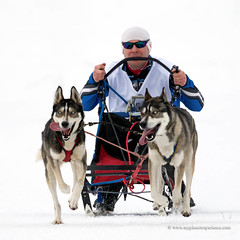 Sled dog race (My Planet Experience) Tags: siberian husky sled snow dog animal race racing running white portrait blue eye siberia myplanetexperience wwwmyplanetexperiencecom musher nordic mushing
