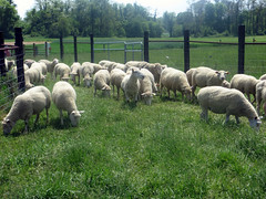 Sheep in laneway (baalands) Tags: green grass sheep pasture fencing laneway grazing