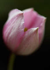 Sweet As Candy (AnyMotion) Tags: pink flowers plants macro primavera floral colors garden spring colours blossom frankfurt natur clematis rosa blumen opening makro blte garten printemps farben frhling waldrebe clematismontana anymotion 2013 canoneos5dmarkii 5d2