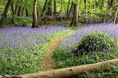 Bluebells (Kieron Adams) Tags: tree bluebells canon log woods path 5d essex blakeswood littlebaddow markiii