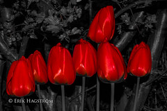 Red (EHP (Erik Hagstrm)) Tags: flowers red bw flower canon tulips sweden sp adobe tulip blommor tamron vc 70200 usd 43 lightroom rd 70200f28 t4i canon650d tamronsp70200mmf28divcusd lightroom43