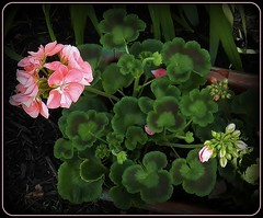 I like these leaves (MissyPenny) Tags: pink flowers green leaves garden geraniums annuals bristolpennsylvania