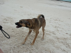 2013-06-04 Casitas Kinsol dogs at the beach - Puerto Morelos - Quintana Roo - Mexico (20) (Alain Berthelot) Tags: dog storm beach dogs rain june fun puerto juin andrea taxi beaches tropical nena plage rains between morelos morales plages 2013 moralos