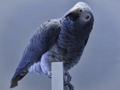Kaylee, the African Grey (bananamark) Tags: pen wildlife ep1