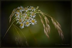 Wild Asters (Lindaw9) Tags: flowers autumn wild white green yellow processing grasses vignetting asters macro105lens