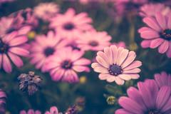 Pick me (aleksandra_p) Tags: flowers daisies purple daisy 28 1635mm 5dii