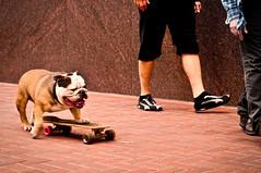 Nelson, Skateboarding Dog (CarbonNYC [in SF!]) Tags: nelson dog skateboarding skateboardingdog market sf bulldog carbonnyc sanfrancisco bayarea california carbonsf