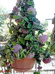207 Hoya Indian Rope Plant (Jen 64) Tags: flowers plant australia brisbane queensland hoya myyard 2013 olympussp590uz