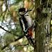 Mr.Woodpecker