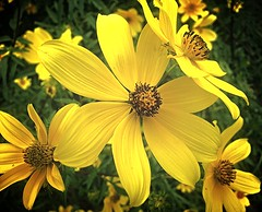 October flowers in The Woodlands, Texas (Arbiella) Tags: texas yellowflower montgomery thewoodlands montgomerycounty