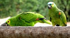 Papagaios (Jakza) Tags: natureza pantanal matogrossodosul ave ambientenatural jakza dois papagaios comendo nanaturezainnature frenteafrente pregamewinner friendlychallenges