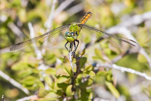 Baja dragonfly