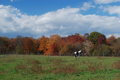 Fall Pasture (Grace B. H.) Tags: autumn horse fall field paint autumnleaves pony pasture domino equestrian autumnal equine paddock painthorse turnout tobiano blacktobiano