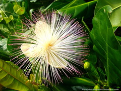 Barringtonia asiatica. Fish Poison Tree. (Dawn in Phuket, Thailand) Tags: flowers tree thailand flora phuket barringtoniaasiatica lecythidaceae rawai bonisland barringtonia fishpoisontree