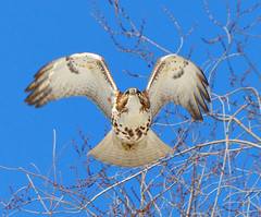 Winter white (Goggla) Tags: park new york nyc red urban bird square village hawk tail east raptor juvenile tompkins