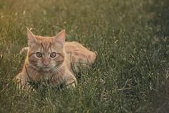 Giovani tigri si aggirano in cortile (Photominuts) Tags: red pet me animal cat kitten five lawn adorable give felino puss rosso gatto prato animale