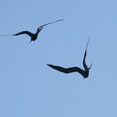 "_DSC6302 (ChanHawkins) Tags: punta april 12 magnificent fernandina fri espinoza ""female pm"" ""galapagos frigatebird"""
