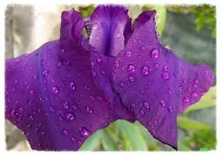 Iris et ses perles........