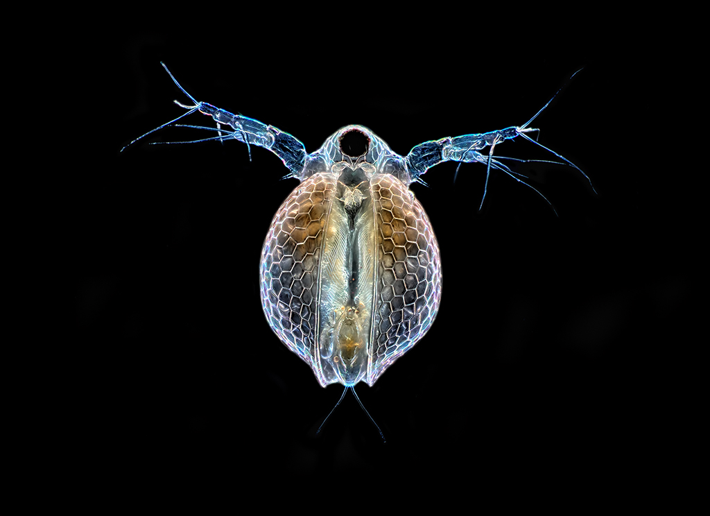 a study on ceriodaphnia Aquatic research organisms - supplier of quality test aquatic organisms to the   of daphnia magna/pulex, ceriodaphnia dubia, pimephales promelas, hyalella.