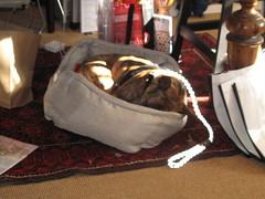 IMG_8487 (SassyKnits) Tags: fanny pitbull basenji brindle adopted mixedbreed jac shelterdog yarnshop jerseyanimalcoalition trilliumyarns