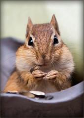 Hi (SavingMemories) Tags: ontario canada cute mouse rodent squirrel critter chipmunk hi chippy backyardwildlife savingmemories suemoffett