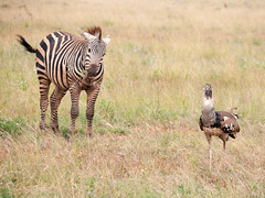 The Stripe and The Feather, in all kinds of weather (altsaint) Tags: kenya panasonic safari zebra tsavo bustard gf1 45200mm