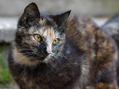Amber eyed cat 02 (Yalitas) Tags: pet cats cat amber kat feline chat kitty 100mm gato felino katze katzen kot ambereyes kedi kass gatta kotka  kocka  katte  canon60d katzchen kottur canoneos60d catmuzzle