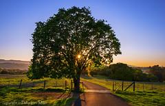 Guardian Oak (philipleemiller) Tags: california sunset nature landscape trails pastures rollinghills oa