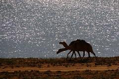 Camels in the Khor rori nature reserve in Oman (Frans.Sellies) Tags: camel oman camels  khor     img2767  umman  khorrori  khorrouri   ixzz2x19u4n6s