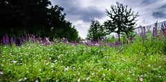 The full Meadow (Thomas TRENZ) Tags: iso100 nikon meadow wiese kitlens kit 1320 blooming 18mm f35 kitobjektiv nikon1855mm3556vr blhen nikond5100