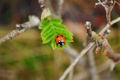 Ladybug (teeleino) Tags: macro nature closeup finland turku zoom colorfull ladybug colourfull