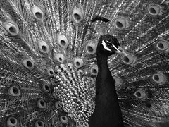 Portrait of a Peacock (whitesepulchre) Tags: show portrait blackandwhite monochrome animal proud canon zoo fan wildlife peacock off schwarzweiss bnw strut tier pfau stolz blancetnoir neuwied sx50 canonpowershotsx50