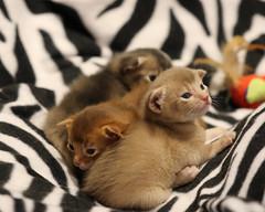 2-week old Abyssinian kittens (@harryshuldman) Tags: abyssinian cat blue red fawn kitten neko high gait farm harry shuldman canon eos 7d mark ii 100mm macro ny new york state