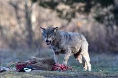 Wilk ( Canis lupus ) WOLF (Zdjęć kilka...) Tags: wilk canis lupus wolf bieszczady las lasy nikon d750 tukasz drobot natura przyroda tamron 150600 łuksz nature wild nadleśnictwo fotografia przyrodnicza