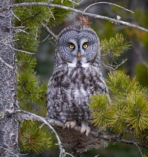 Great Grey Owl_3