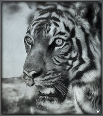 Baheem Up Close N Personal (ELAINE'S PHOTOGRAPHS) Tags: wildlife animals bigcats cats felines tigers malayantigers stripes