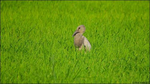Asain Openbill (Anastomus oscitans) - immature