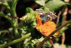 Checker skipper on dandelion (TJ Gehling) Tags: insect lepidoptera butterfly hesperiidae skipper skipperbutterfly checkeredskipper commoncheckeredskipper pyrgus pyrguscommunis plant flower weed dandelion canyontrailpark elcerrito