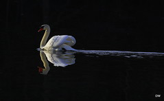 IMG_0353 (eos2315) Tags: swan waterfowl audubon spring newburg lake