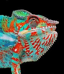 Furcifer pardalis (jeanmarie.gradot) Tags: caméléon chameleon lizard reptile reunionisland laréunion indianocean panthère panther
