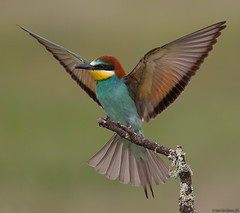 Bee-eater (andrériis) Tags: beeeater spain la manga bird spring outdoor canon