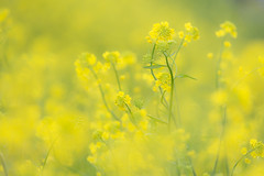 yellow (20EURO) Tags: spring yellow flower bright warm sunlight season change nature landscape grass blossoms rapeblossoms village nativeplace fun walk weekend holiday 菜の花 写真 eos beautiful photograph canoneos5dmarkⅲ