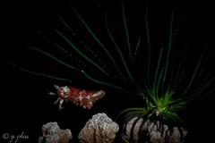 2015, wakatobi, dunia baru, night, dwarf cuttlefish and crinoid (1 of 1) (q.phia) Tags: wakatobi indonesia 2015 cuttlefish cephalopods octopus tunicate anemonefish cardinalfish seaurchinskeleton leaffish scorpionfish nudibranch trumpetfish anemone flabellina corals seaturtle wideangle macrophotography scuba diving ocean sea flatworm coralbleaching crinoid southeastasia