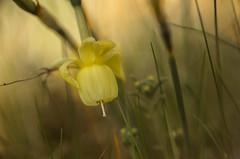 Narciso. (Amparo Hervella) Tags: macro narciso flor naturaleza comunidaddemadrid españa spain lentemacro d7000 nikon nikond7000