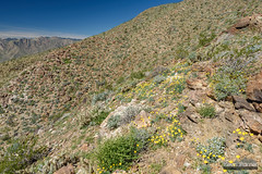 Coyote Mountain Poppies (kevin-palmer) Tags: anzaborregodesert statepark california sonorandesert spring march nikond750 sunny blue sky tamron2470mmf28 agave bloom blooming flowers wildflowers borregosprings sandiegocounty coyotemountain hot circularpolarizer cholla creosote